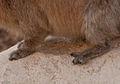 Israel hyrax feet (4256049094).jpg