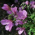 J20150625-0010—Clarkia dudleyana—RPBG (31500409263).jpg