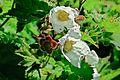 J20170428-0015—Rubus parviflorus—RPBG—DxO (33526610184).jpg