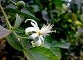 JNU White Flower.jpg