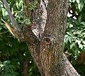 Jacaranda (Jacaranda mimosifolia) trunk in Hyderabad, AP W IMG 6739.jpg