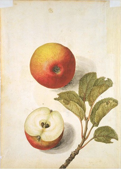 Jacques Le Moyne de Morgues - Apple