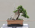 Japanese Yew bonsai, 2011-05-29.jpg
