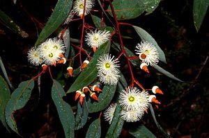 Eucalyptus marginata - Jarrah blossom