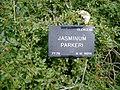 Jasminum parkeri wiki 1.jpg