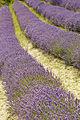 Jersey Lavender Farm 49.jpg