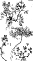 Joannis Raii Synopsis methodica stirpium Britannicarum- tum indigenis Fleuron T093684-15.png