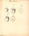 Jordbær - Louis Vilmorin (9244514805).jpg
