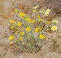 Joshua Tree National Park flowers - Baileya pleniradiata - 02.JPG