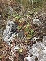 Jovibarba globifera subsp. globifera sl5.jpg