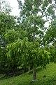 Juglans regia subsp. fallax kz01.jpg