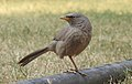 Jungle Babbler Turdoides striata by Dr. Raju Kasambe DSCN7472 (12).jpg
