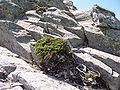 JuniperusSibirica PuyGriou 04.JPG