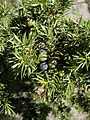 Juniperus comumunis var. communis. Xinebru (detalle frutu).jpg