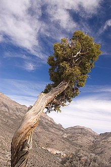 Juniperus osteosperma i Nevada, USA
