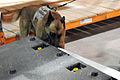 K-9 teams enjoy scent of training DVIDS266730.jpg