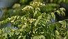 Kadi Patta (Murraya koenigii) flowers & leaves at Jayanti, Duars W Picture 167