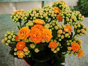 Kalanchoe blossfeldiana - One of the Calandiva® line of double-flowered Kalanchoe blossfeldiana cultivars