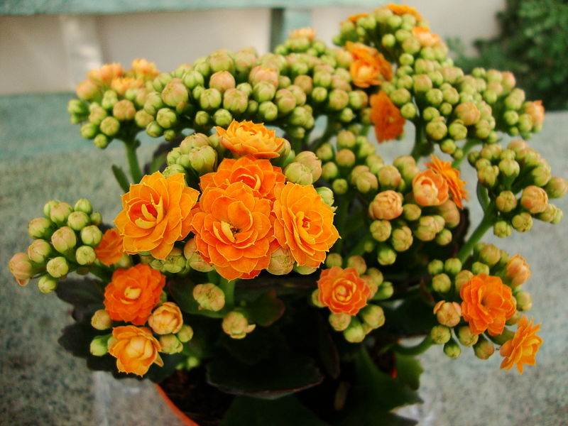 Arquivo: Kalanchoe blossfeldiana var.  Calandiva (2). Jpg