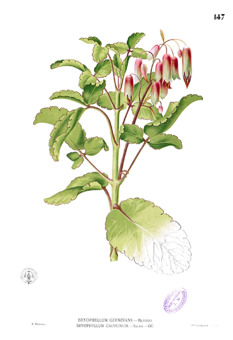 "Bryophyllum - The ""Goethe Plant"", Bryophyllum pinnatum, illustrated in Flora de Filipinas by Francisco Manuel Blanco"