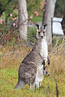 Kangaroo and joey.jpg
