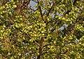 Kanju (Holoptelea integrifolia) with fruits W2 IMG 5868.jpg