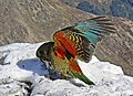 Kea showing wing colours. (9139328171).jpg