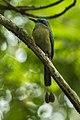 Keel-billed Motmot - Sarapiqui - Costa Rica S4E0981 (26404351020).jpg