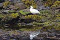 Kelp Goose (4303121134).jpg