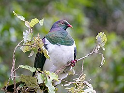 Kererū on a rangiora at Zealandia