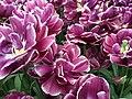 Keukenhof, tulips (33513228345).jpg