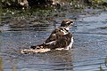 Killdeer taking a bath (28707550674).jpg