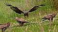 Kite meets Buzzards (5939321965).jpg