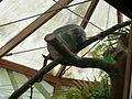 Koala in Planckendael.jpg