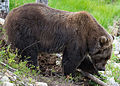 Kodiak bear, one huge bear (14916203880).jpg
