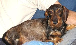 English: Wire-haired dachshund עברית: תחש זיפי