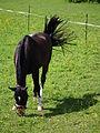 Koppel mit weidendem Pferd Mai 2012 Kißlegg.JPG