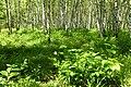 Korina 2014-06-06 Prunus serotina.jpg