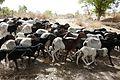 Koumagou-Moutons bicolores (2).jpg