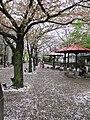Kyoto, 桜 落下, sakura falling, Gion - panoramio.jpg