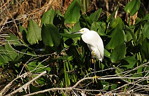 Lake Woodruff National Wildlife Refuge - Image: LWNWR Snowy Egret 01