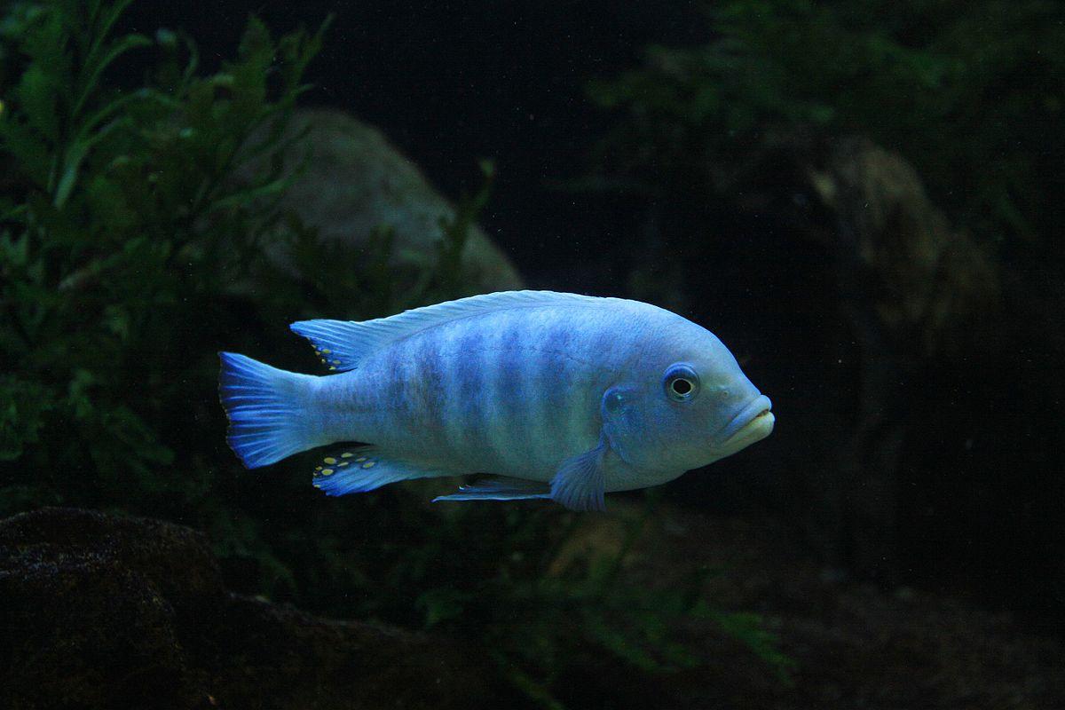 Blue Mbuna Wikipedia