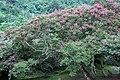 Lagerstroemia indica in Damyang 2.JPG