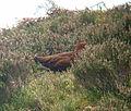 Lagopus lagopus scotica Hawsen Burn 2.jpg