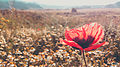 Lale ordubad yaz spring flower cicek svln4821 01.jpg
