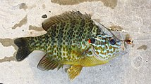 Landed pumpkinseed sunfish.JPG
