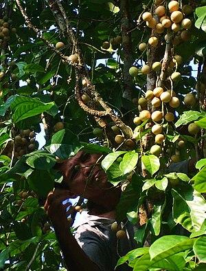 Lansium parasiticum - L. parasiticum cultivation in Mandi Angin, Rawas Ilir, Musi Rawas.