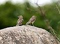 Large Grey Babbler (Turdoides malcolmi) in Hyderabad, AP W IMG 7566.jpg