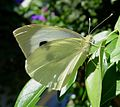 Large White. Pieris brassicae. - Flickr - gailhampshire.jpg