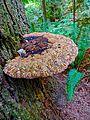 Large shelf mushroom (21449842105).jpg
